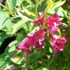Weigela French Lace